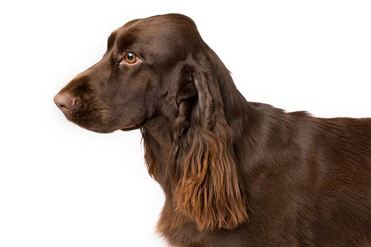 Field Spaniel head and shoulders facing left