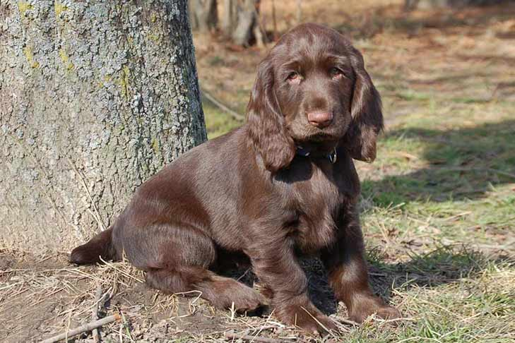 Field Spaniel Dog Breed Information