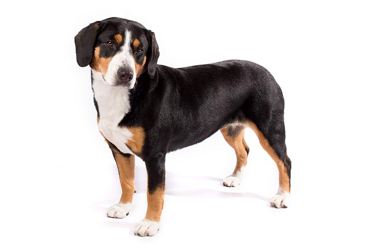 Entlebucher Mountain Dog standing in three-quarter view facing left, head turned right
