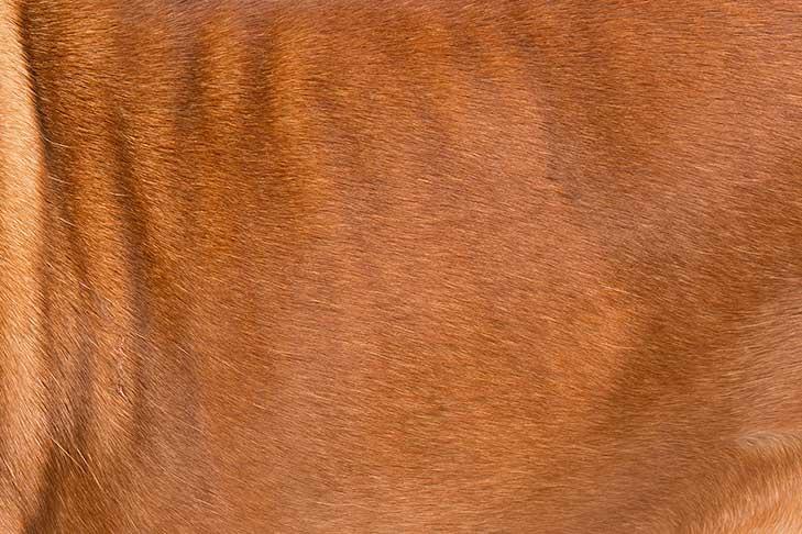 Dogue de Bordeaux coat detail