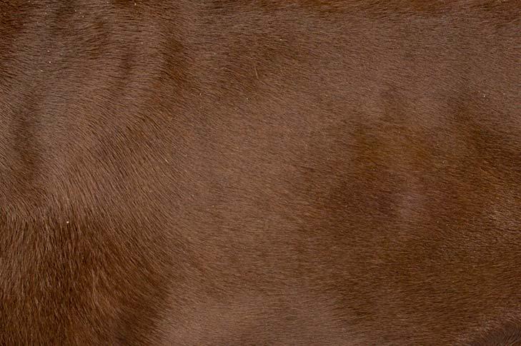 Doberman Pinscher brown coat detail