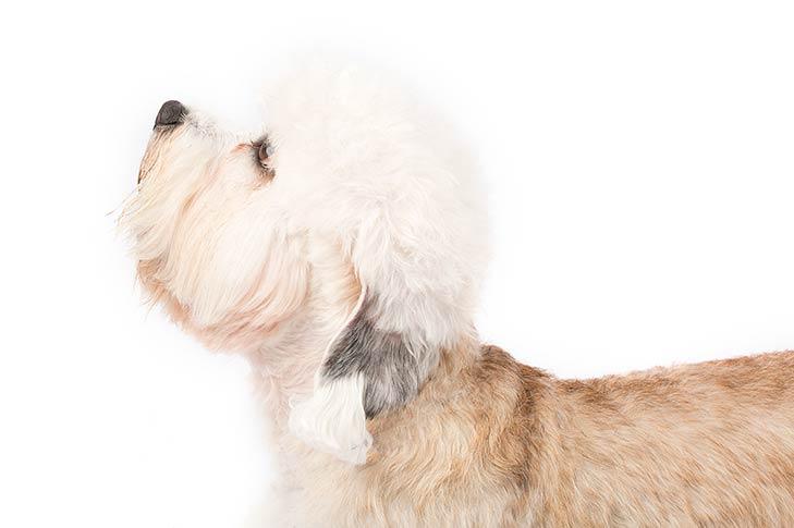 Dandie Dinmont Terrier head facing left