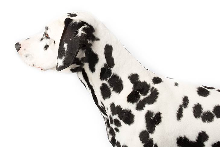 Dalmatian head facing left
