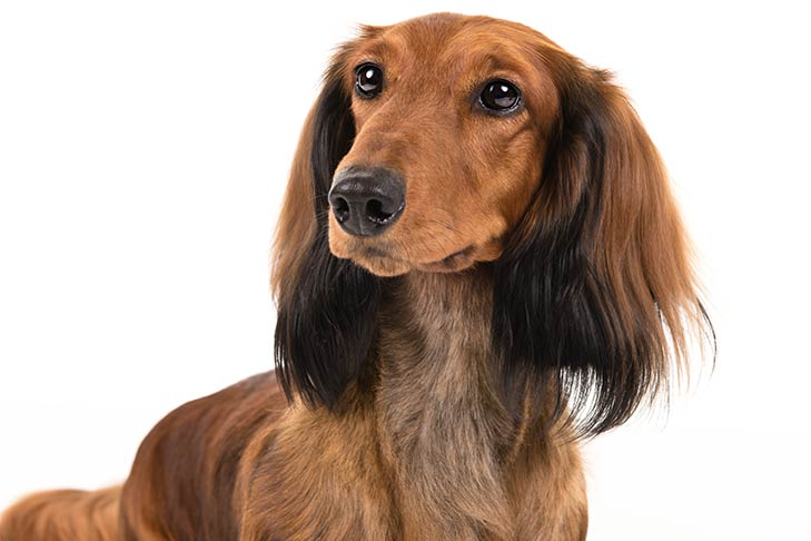Dachshund sitting in three-quarter view, head turned left