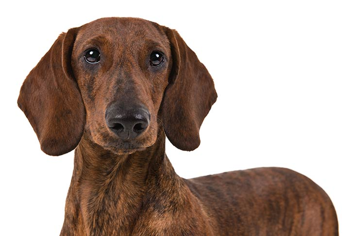 Dachshund head facing forward