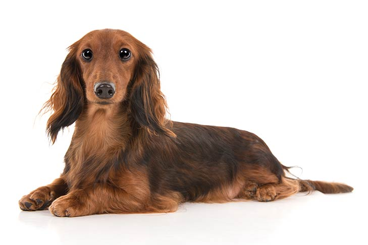 Dachshund lying in three-quarter view facing forward
