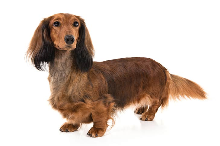 Dachshund standing in three-quarter view facing forward