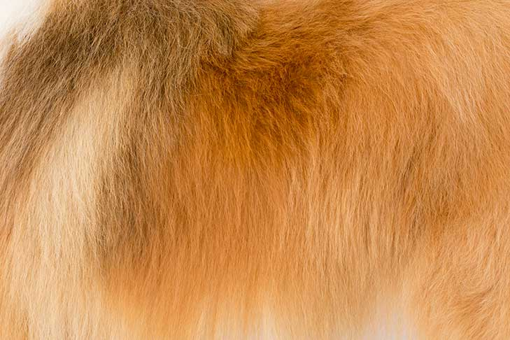 Collie coat detail