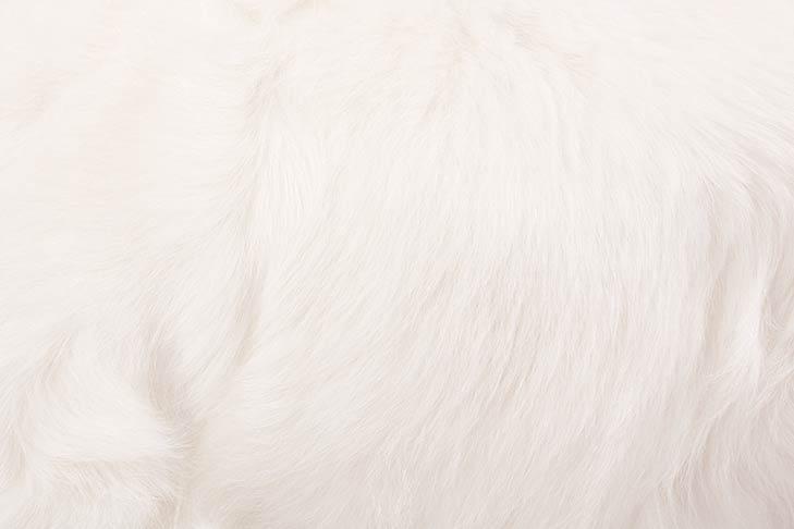 Clumber Spaniel coat detail