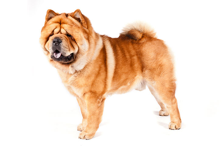 Chow Chow standing facing left, head turned forward