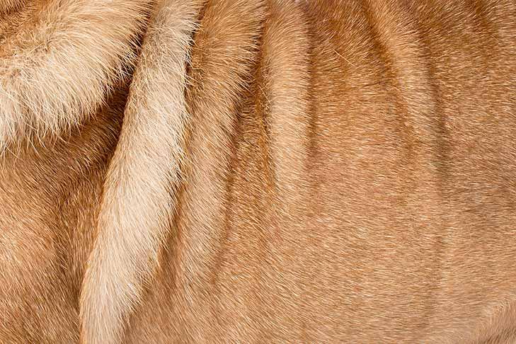Chinese Shar-Pei coat detail
