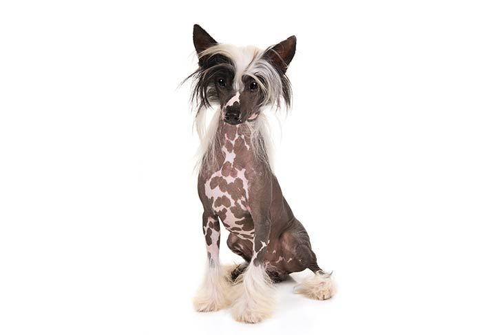 Chinese Crested sitting in three-quarter view facing forward
