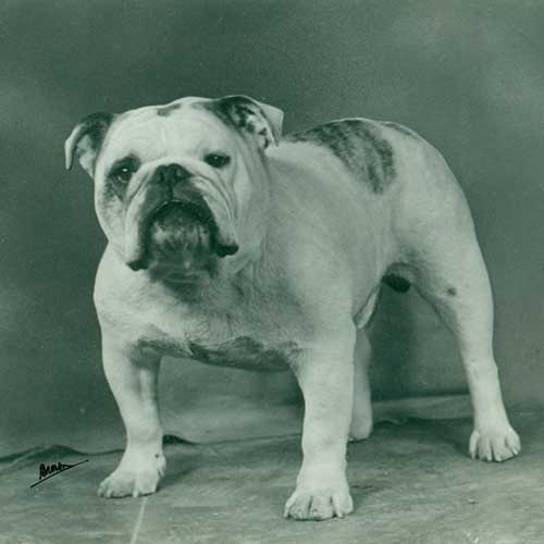blue fawn english bulldogs