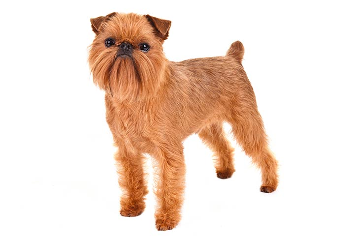 Brussels Griffon standing in three-quarter view facing forward