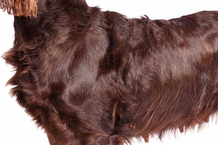 Boykin Spaniel coat detail