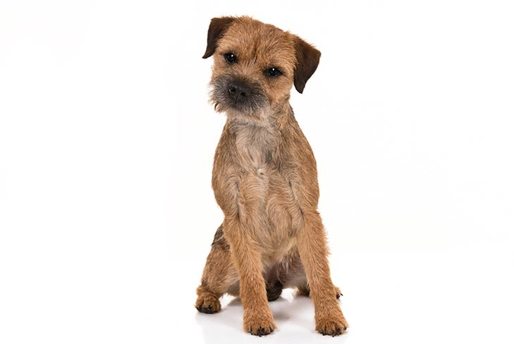Border Terrier sitting facing forward