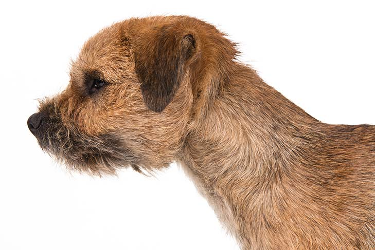 Border Terrier head facing left