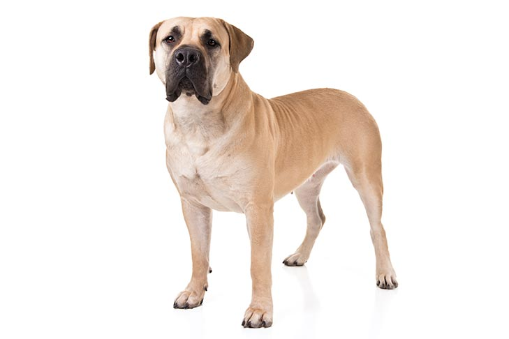 What Are Intelligent Dog Breeds