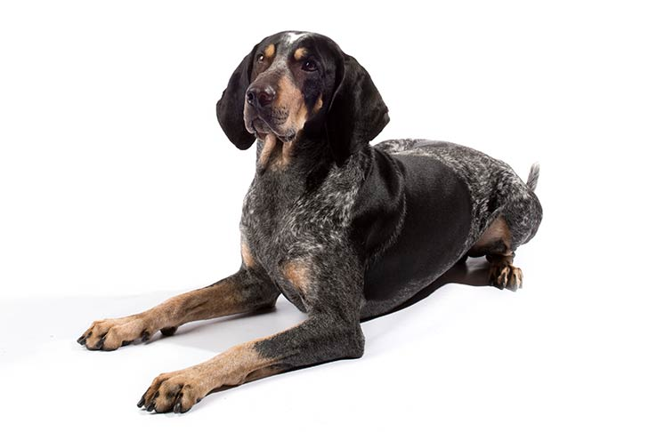 Bluetick Coonhound lying in three-quarter view