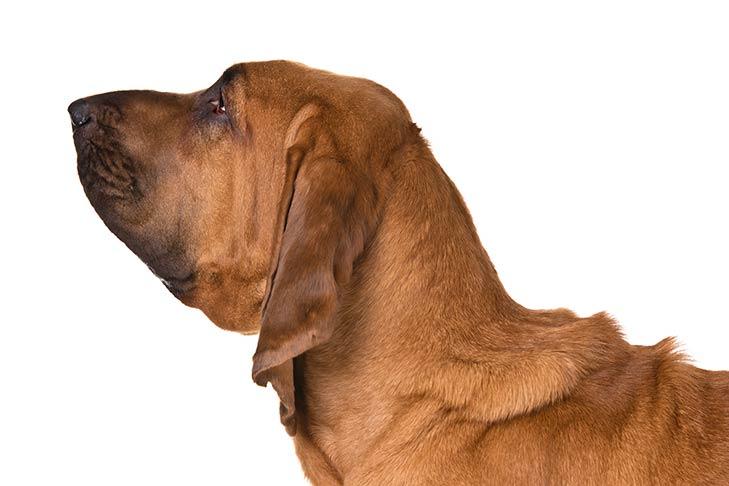 Bloodhound head facing left