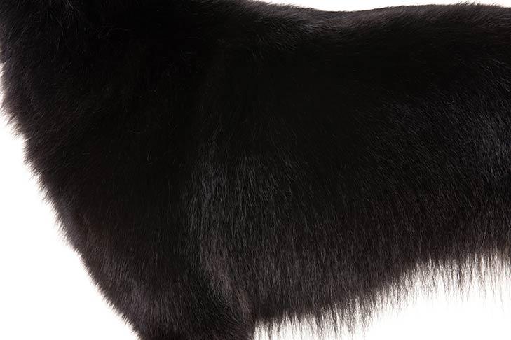 Belgian Sheepdog coat detail