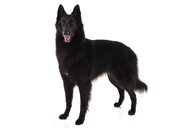 Belgian Sheepdog Dog Breed Information