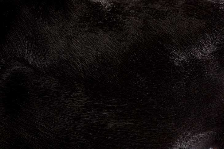 Beauceron coat detail