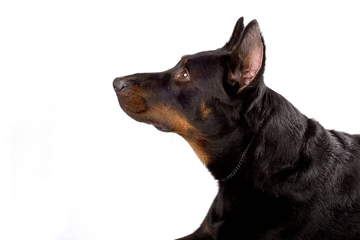 Beauceron head facing left
