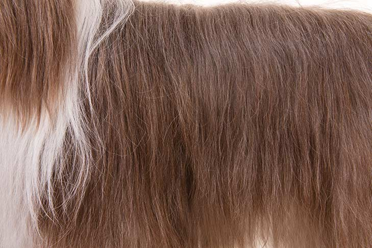 Bearded Collie coat detail