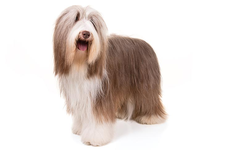 Bearded Collie standing facing forward in three-quarter view