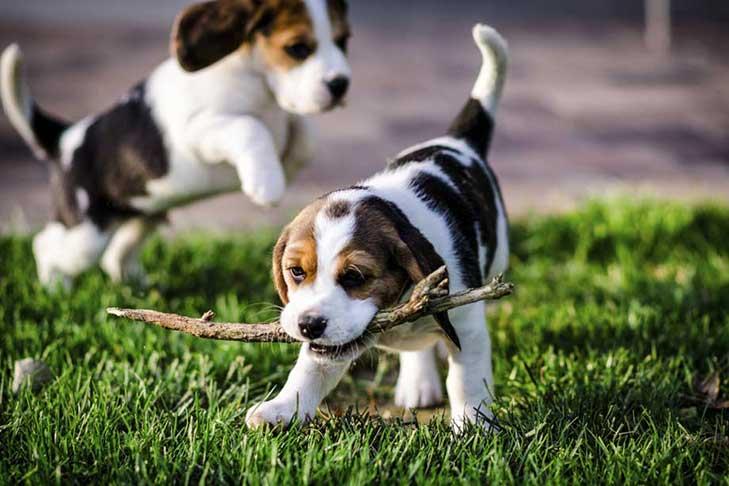 Family Dog Rescue Foxhound