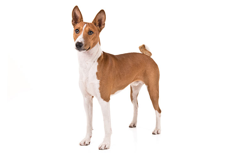 Basenji standing in three-quarter view