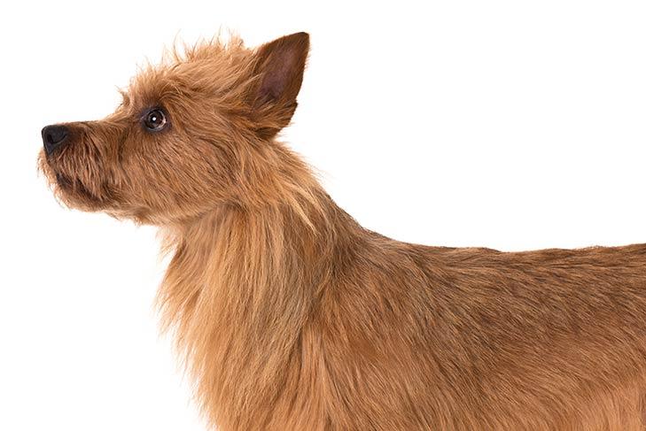 Australian Terrier head facing left