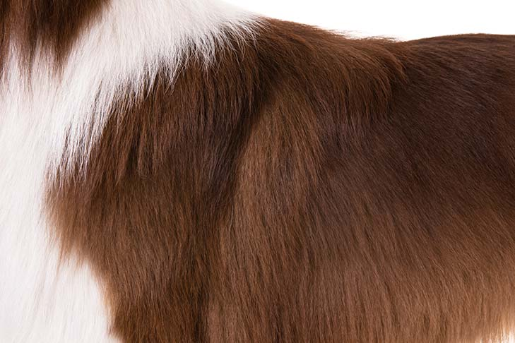 Australian Shepherd brown and white coat color detail