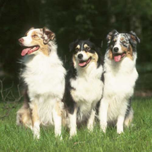 The History of the Australian Shepherd and the Mini Aussie