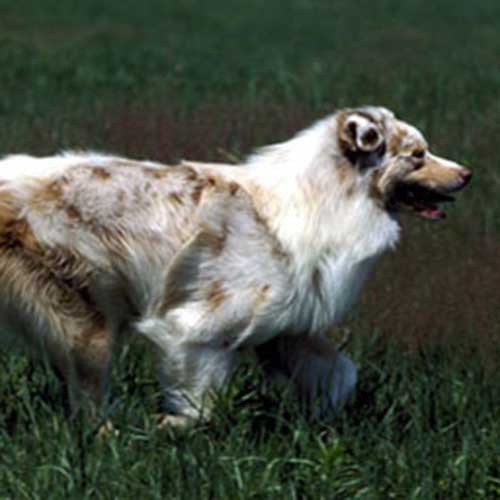 beagle australian shepherd mix dog