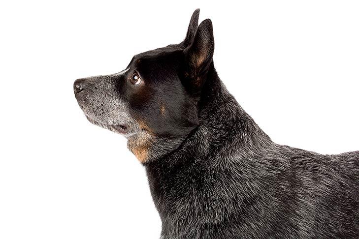 Australian Cattle Dog head facing left