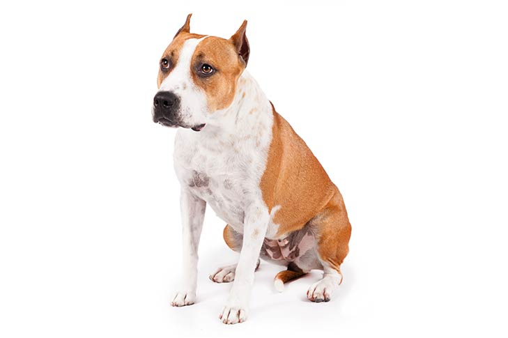 American Staffordshire Terrier sitting, three-quarter view