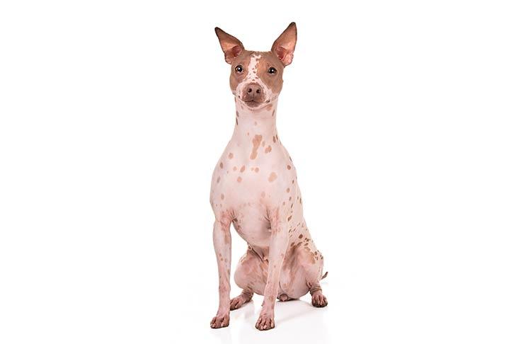 American Hairless Terrier sitting facing forward