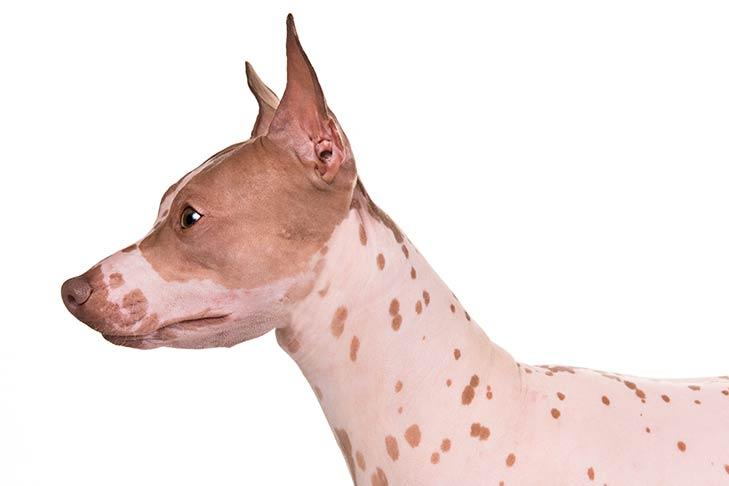 American Hairless Terrier head facing left