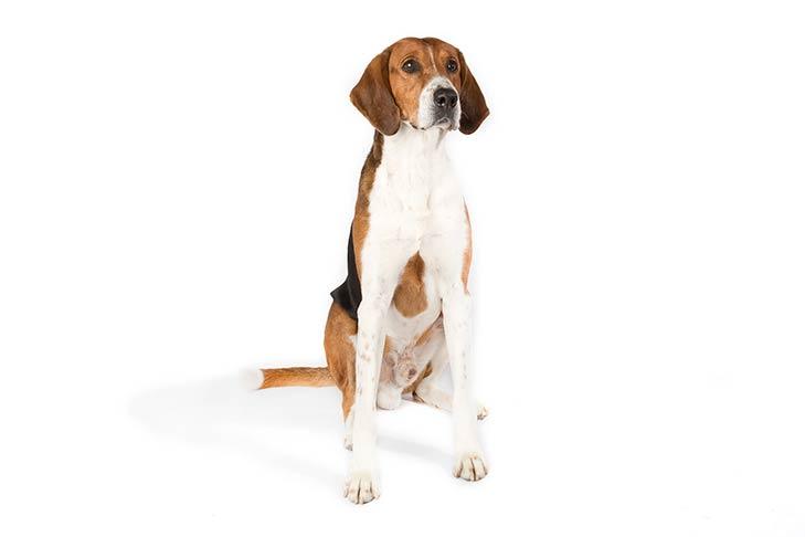 American Foxhound sitting facing forward