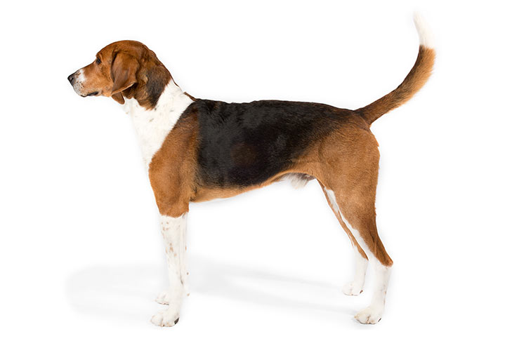 American Foxhound standing sideways facing left