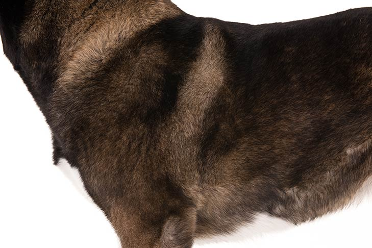 Akita coat detail