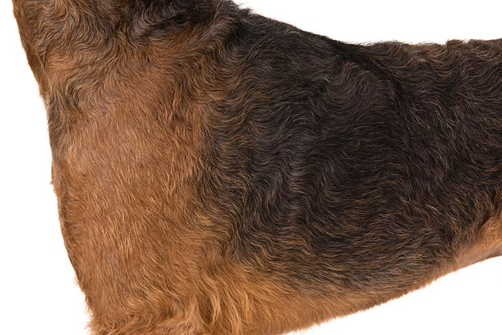Airedale Terrier coat detail