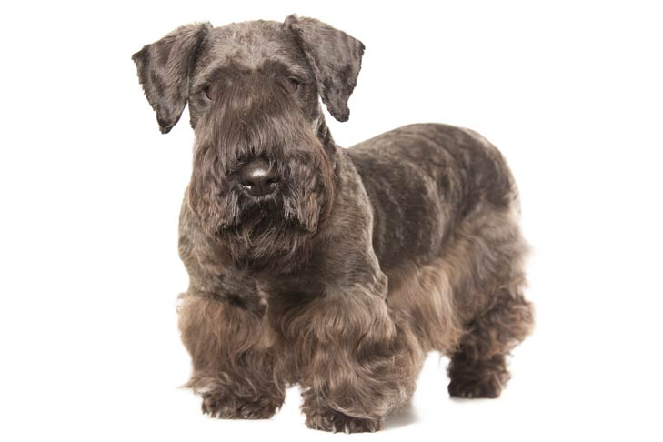 Cesky Terrier standing in three-quarter view