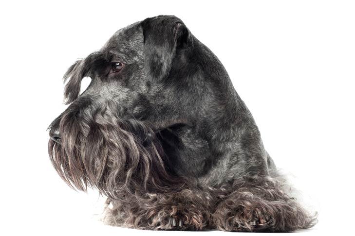 Cesky Terrier lying down facing forward, head turned left