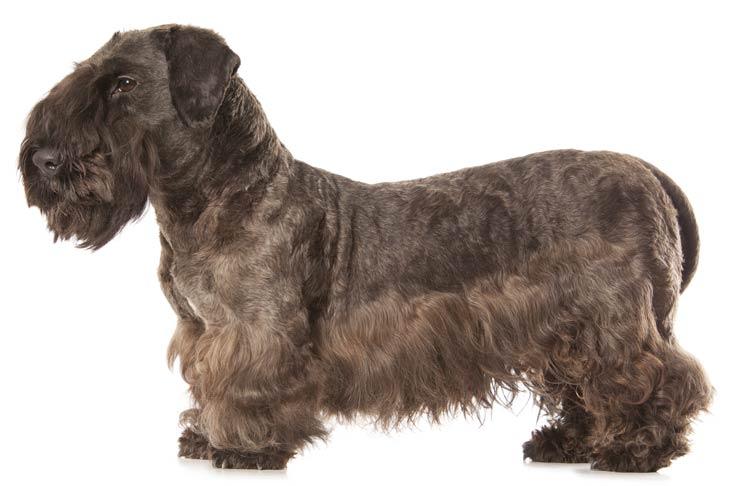 Cesky Terrier standing facing left