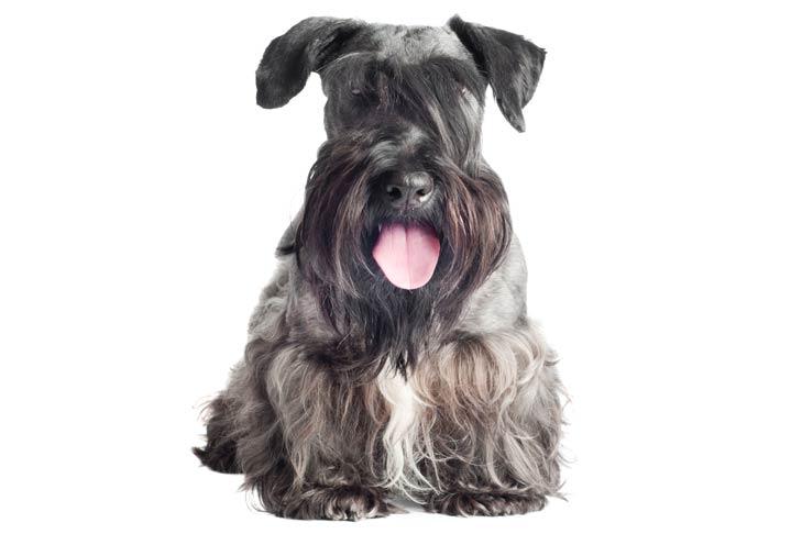 Cesky Terrier sitting facing forward