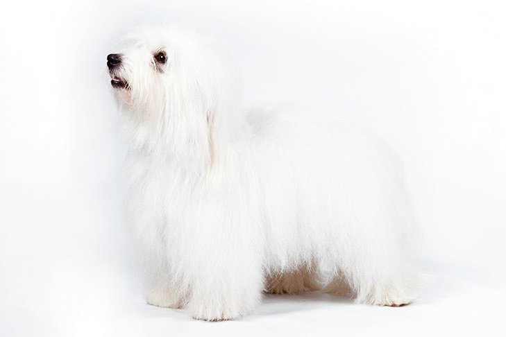Coton de Tulear standing on a white background.