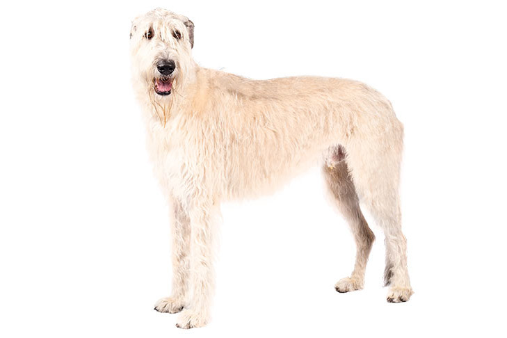 Irish Wolfhound standing sideways facing left, head turned forward.